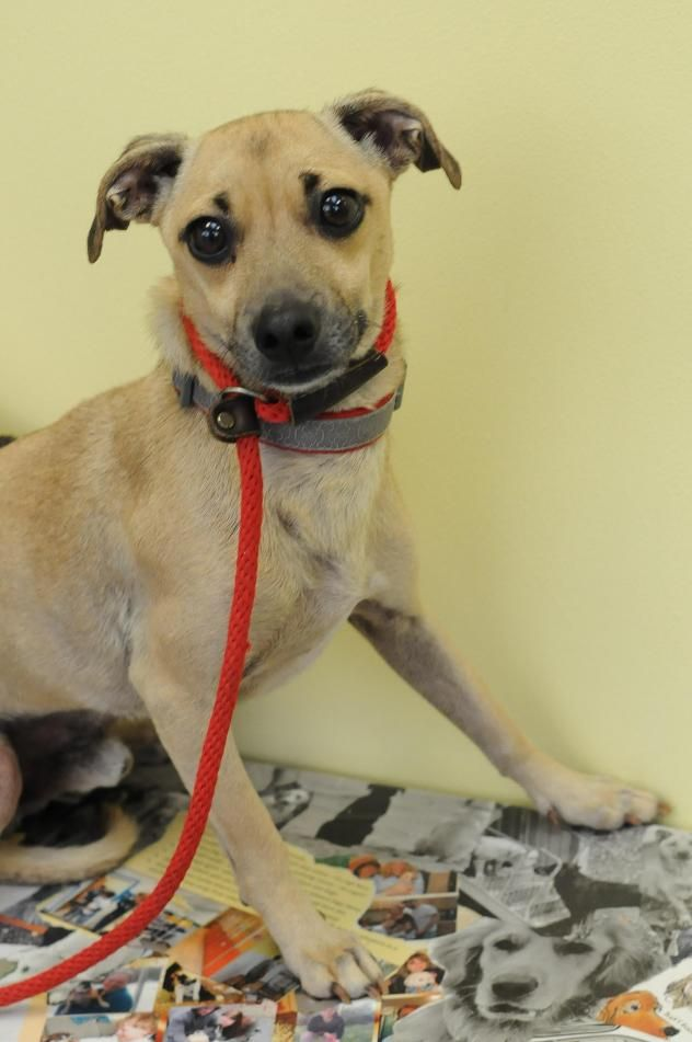 Doug/Italian Greyhound Mix & Pug • Adult • Male • Small Animal Alliance Lambertville, NJ--DOUG is a 4 year od 10 pound Italian Greyhound/Pug mix who has very long legs. DOUG has a mild case of separation anxiety so a quiet home with someone home during the day would be best for him.