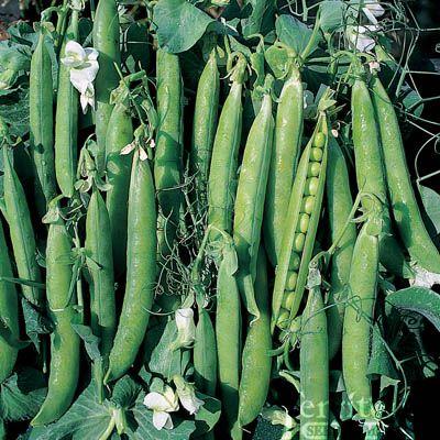 343 best Pea & Bean varieties images on Pinterest
