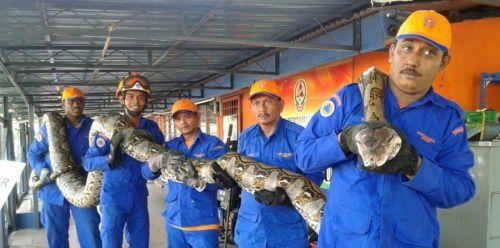 [VÍDEO] Atrapan en Malasia serpiente pitón más...