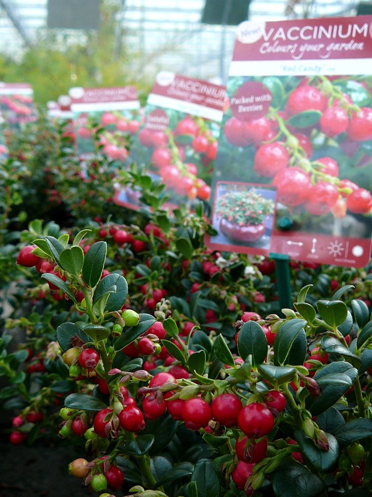 Vaccinium v. 'Red Candy' / vossebes