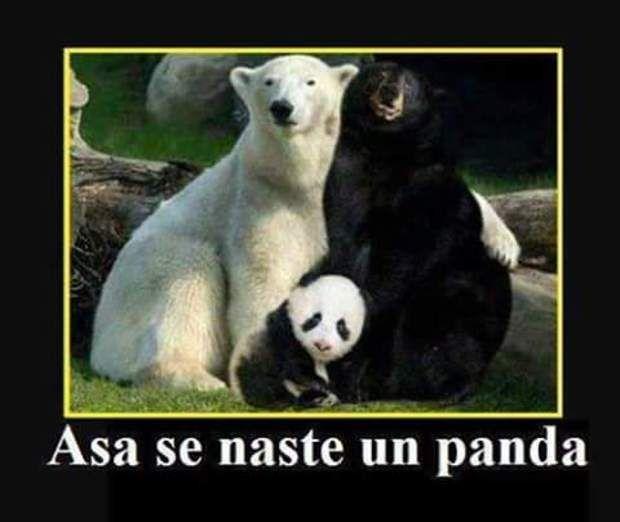 Cum se naste un Panda