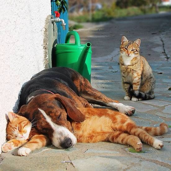 Ginger cat with friends