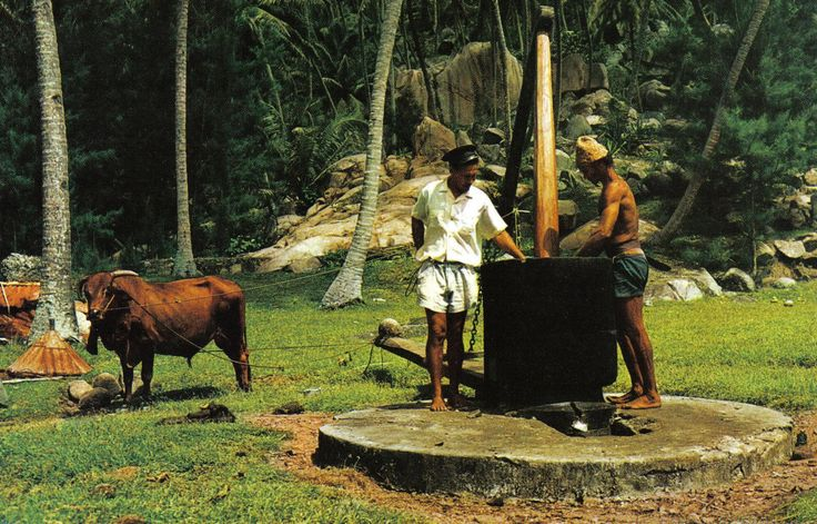 Coconut oil making Seychelles - Coconut oil - Wikipedia, the free encyclopedia