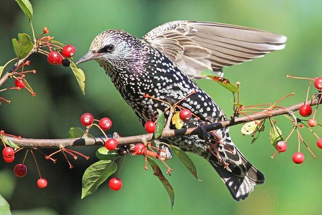 European Starling: Photo