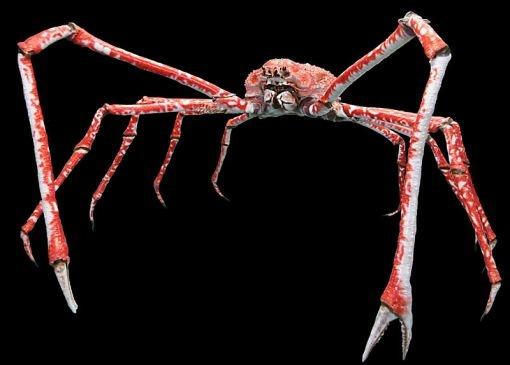 Cangrejo gigante japones. Es el artrópodo vivo más grande, por longitud, del mundo. Sus patas llegan a medir más de 1,5 metros de largo, cantidad que, sumada al comparativamente pequeño cuerpo, le otorga un diámetro total de cuatro metros. Su peso supera los 20 kg y se cree que llegan a vivir más de 100 años