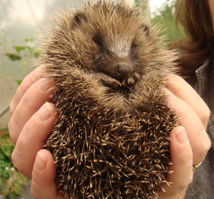 Closer look at the hedgehog, before releasing him into the garden.  Picture taken by Abbey Kaos.