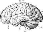 """The brain from the left side. Cb, the cerebral hemispheres forming the main bulkl of the fore-brain; Cbl, the cerebellum; Mo, the medulla oblongata; P, the pons Varolii; *, the fissure of Sylvius; Ro, the fissure of Rolando; Po, the Parieto-occipital fissure."" —Martin, 1917"