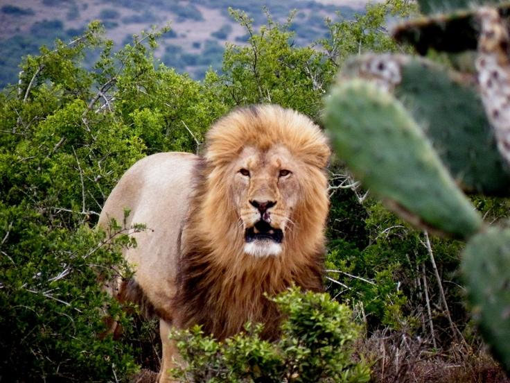 #lion #animal #leon