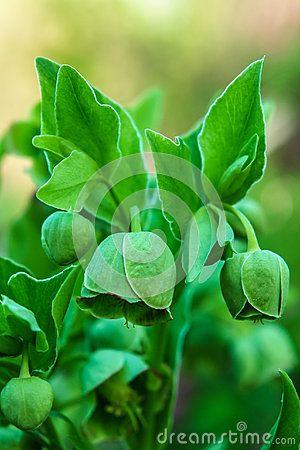 Helleborus foetidus - green Stinking Hellebore flowers.