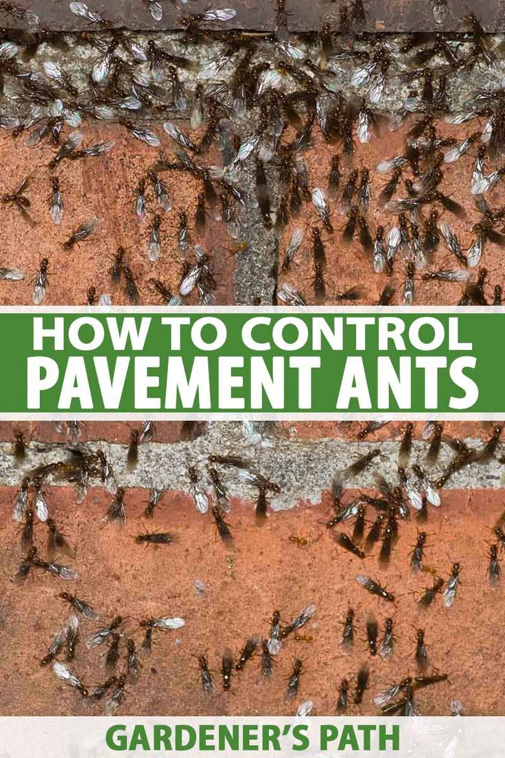 How To Eradicate A Pavement Ant Infestation Garden Pests Ants