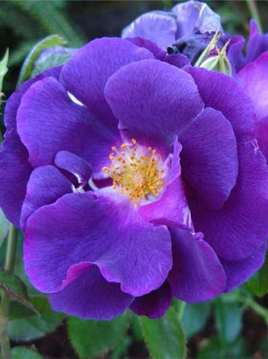 ~Shrub Rose 'Rhapsody in Blue'