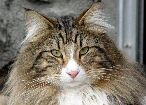 Ojos del gato Bosque de Noruega