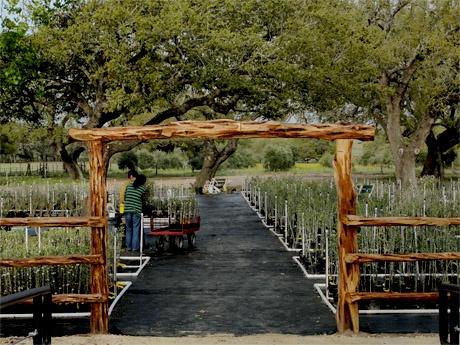Olive Tree nursery near San Antonio.