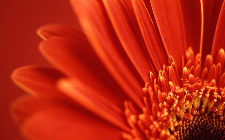 1440x900 Vista red flower desktop PC and Mac wallpaper