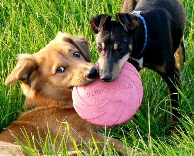 Om spieren en botten te ontwikkelen hebben dieren voldoende beweging nodig. advies voor leefomstandigheden en sport met honden