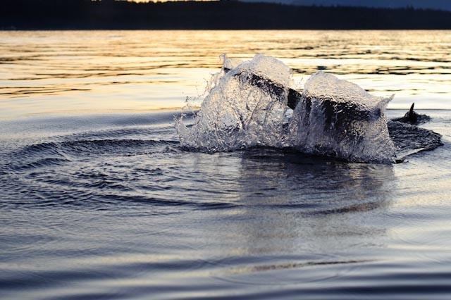 Orcas off of Qualicum Beach, BC (Vancouver Island)