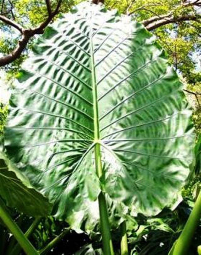 Alocasia borneo giant plantes pinterest plantes et for Alocasia d interieur