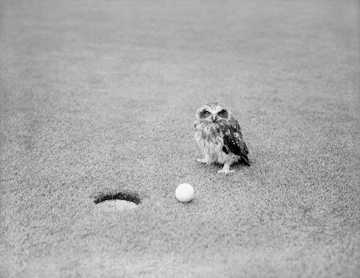 A baby owl which surprised itself by falling onto one of the greens during play in the professional purse at the Eastern Golf Club. Victoria. December 8, 1937.