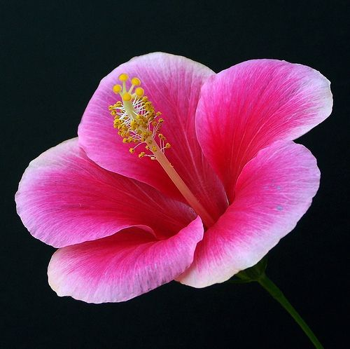 ~~Pink hibiscus by Schooled_in _rock~~