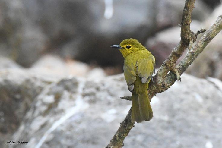 Yellow browed bulbul birds