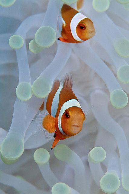 Anemonefish pair