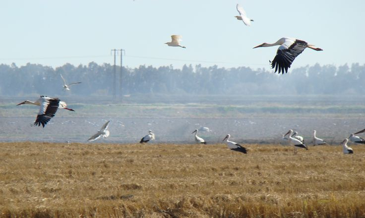 Two storks in flight accompanied by several egrets. Somewhere near Colinas close to the Doñana national park, Sevilla, Andalucia, Spain (2007)
