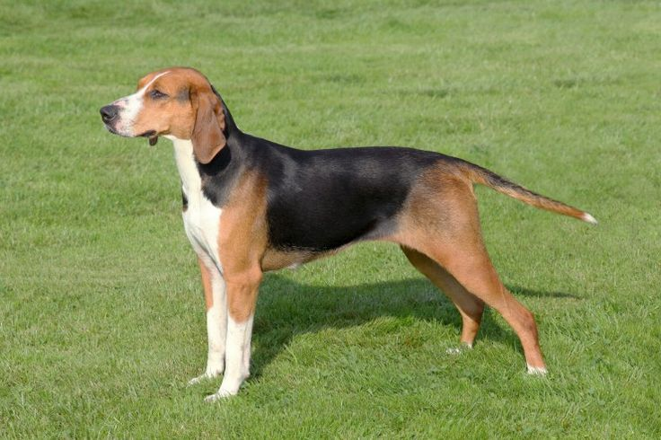 Hamiltonstovare Dog Breed - Sweden