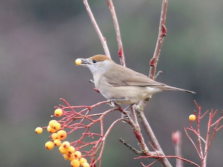 mikehook51 posted a photo:  Whilst watching the Mistle thrushes on the Sorbus Joseph Rock this morning I noticed this Female Blackcap also feasting on the berries. Poor light and quite distant is my excuse for the shot.