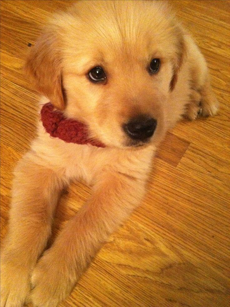 Our Golden Retriever Puppy<3