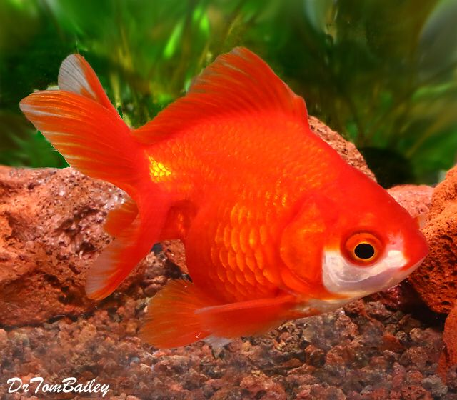 Red Short-Tail Ryukin, Featured item. #red #short #tail #ryukin #goldfish #fish #petfish #aquarium #aquariums #freshwater #freshwaterfish #featureditem