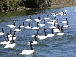 cisnes de cuello negro - Buscar con Google
