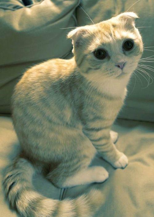 Cute Scottish Fold Cat 1300 Pet Insurance for Dogs and Cats in Australia - http://www.kangabulletin... #pet #insurance #australia #price pet insurance reviews and pet insurance bc