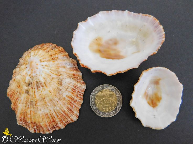 Unidentified Seashell – If you can assist with the identification of this shell, please do so by leaving a comment below. Seashells found on the Mtwalume / Elysium / Ifafa beaches on the South Coast of KwaZulu-Natal (South Africa). #kzn #KwaZuluNatal #kznsouthcoast #southafrica #seashells #seashell