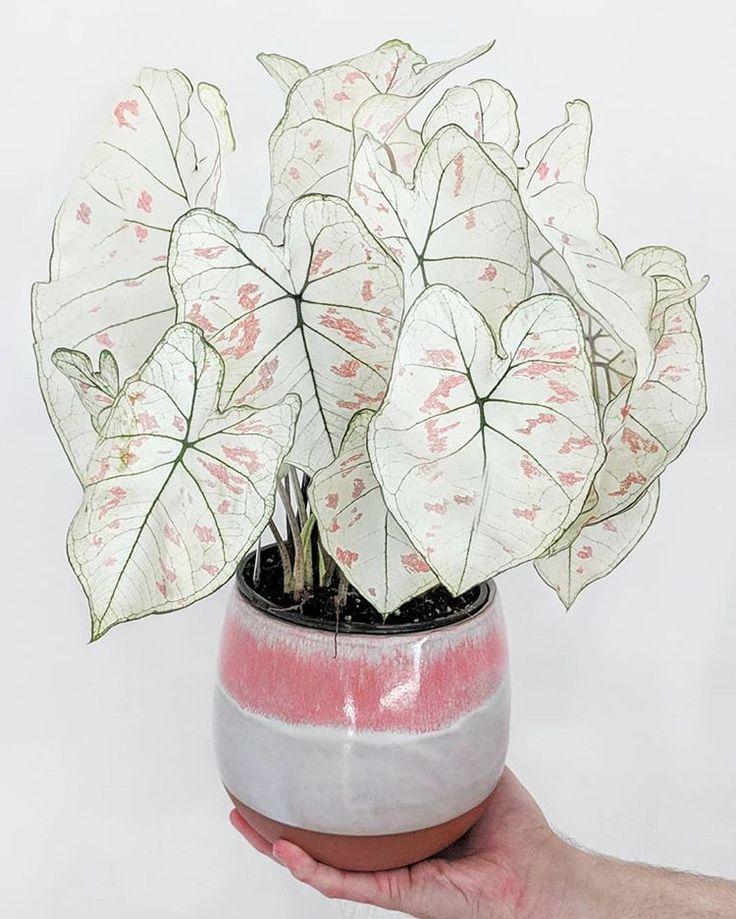 Caladium Strawberry Star – Pflanzen Drinnen