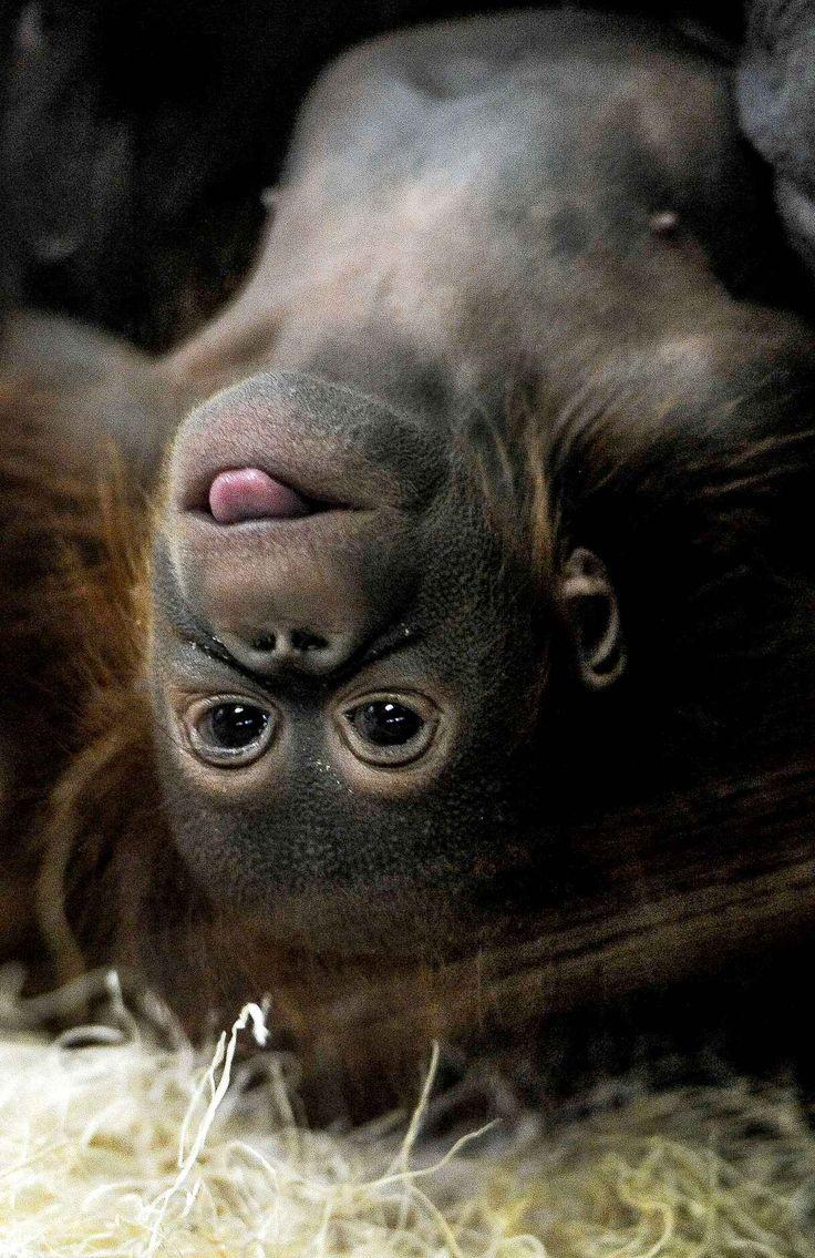 Un bébé orang-outan de Bornéo joue au zoo deCheyenne Mountainà Colorado Springs dans le Colorado.