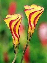 Bulbi Oxalis Golden Cape (Trifoi)