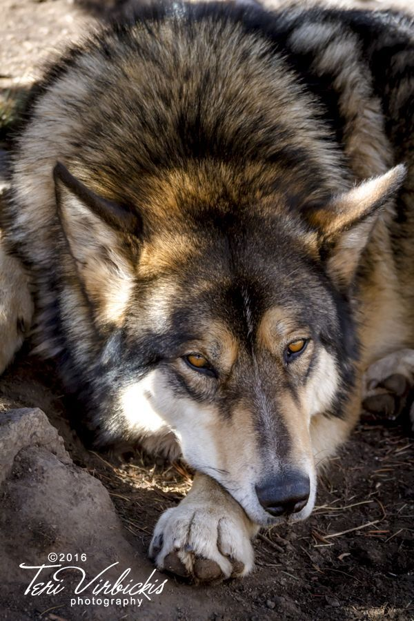 BLOG POST: Kisses with Wolves. Photographing wolves at Rocky Mountain Wildlife Foundation
