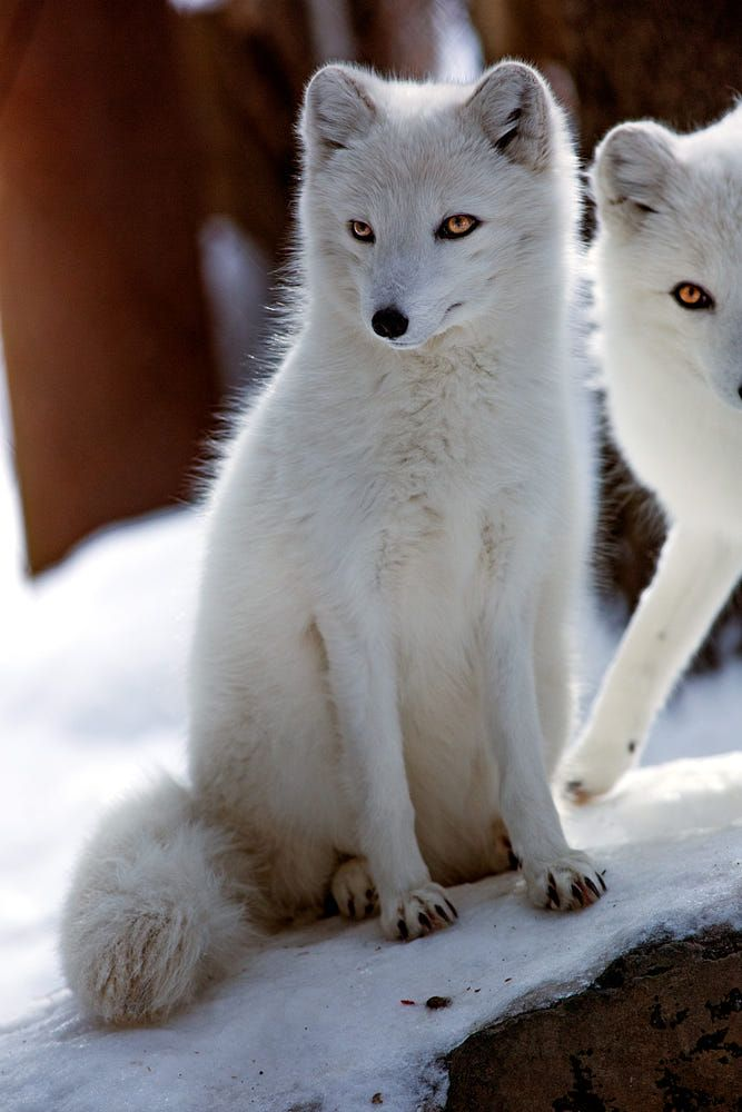 arctic fox by rebekah mackinnon My cousin vinny / twentieth century fox presents in association with peter v miller investment corp  written by dale launer  produced by dale launer and paul schiff  directed by jonathan lynn beverly hills, california : 20th century fox home entertainment, [2009.