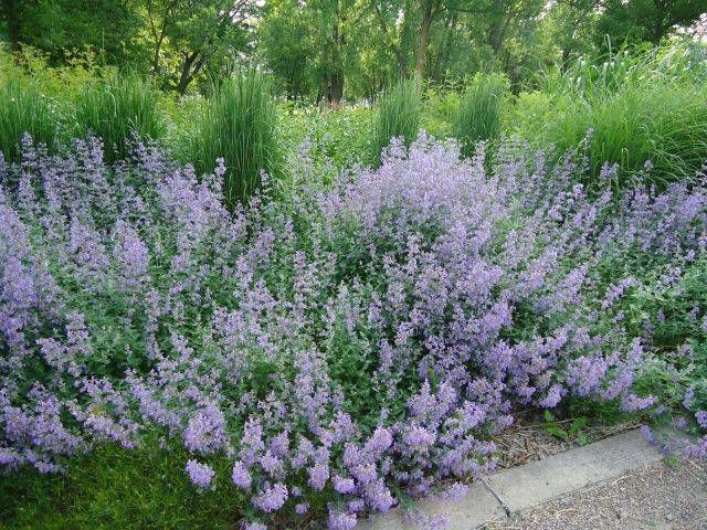 Picture of Calamintha nepeta