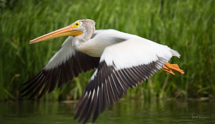 """""""Pelican Flight"""" by Ian McGregor https://gurushots.com/ianmcgregor/photos?tc=2f714573798c4445d3810149174a9e47"""