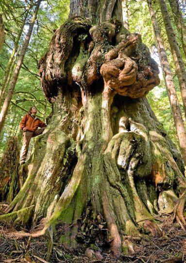 This monster of a redcedar was found growing in the upper Avatar Grove less than 10 kms from Port Renfrew on Vancouver Island, BC, Canada