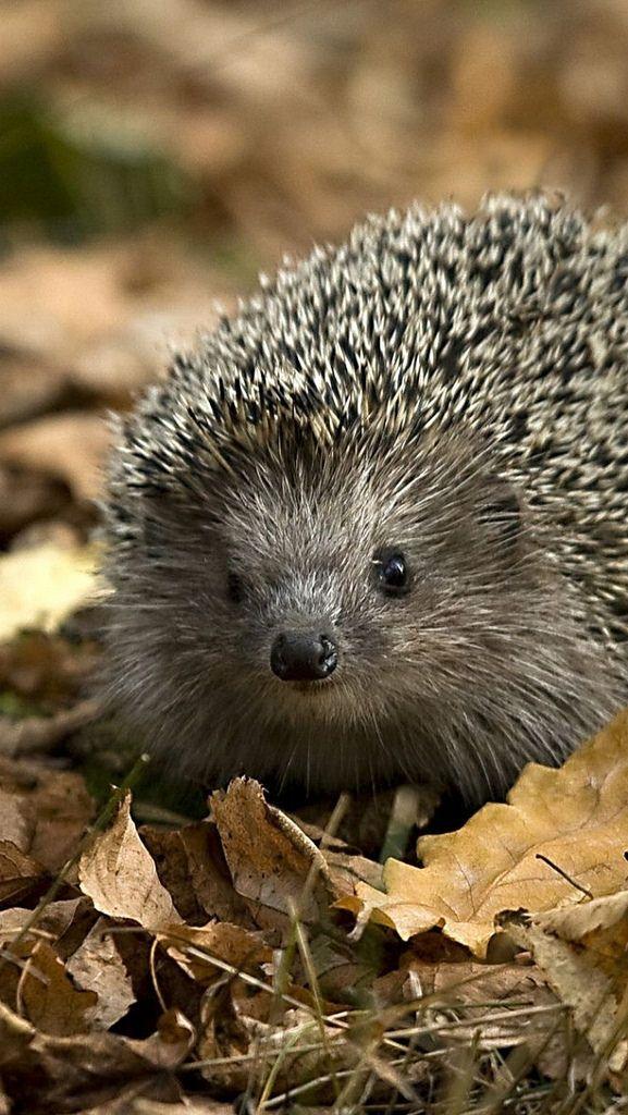https://flic.kr/p/nQyUMK | hedgehog_leaves_autumn_grass_52450_640x1136