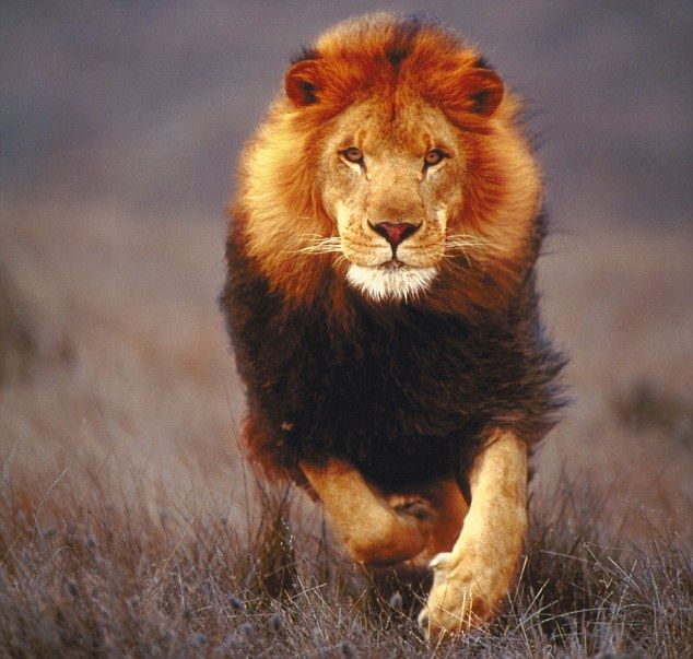 Lion Symbolism... The spirit essence of the Lion is wise beyond his years, he carries the wisdom of all Lions that have gone before him throughout the ages...