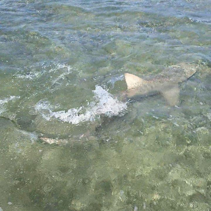 Big Lemon Shark On The Flats The Other Day Floridakeys Keylargo Florida Inshore Offshore Lobster Angl Sport Fishing Fishing Trip Fishing Lifestyle