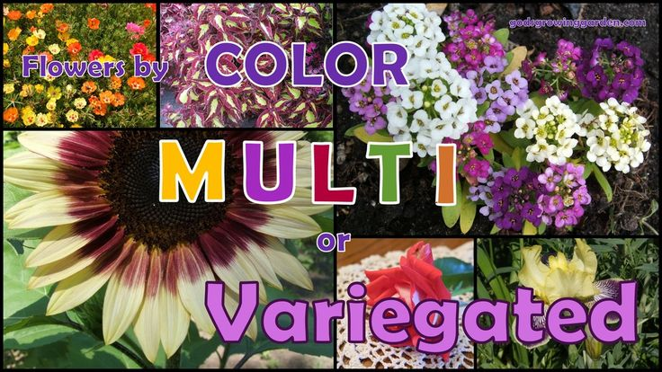 #flowers by color - Multi-colored or variegated by: http://www.godsgrowinggarden.com/2017/08/flowers-by-color-multi-or-variegated.html