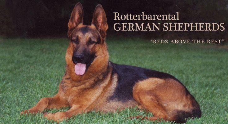 German Shepherd Dog Breeder German Shepherd Puppy for Sale Heathers next dog!