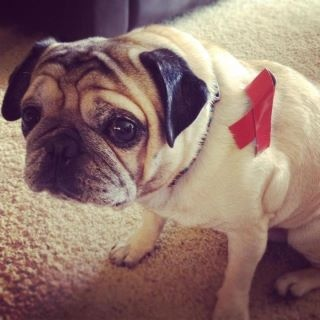 AIDS awareness pug supports the Norcal AIDS Cycle rideNorcal Aid, Aid Cycling, Aid Awareness