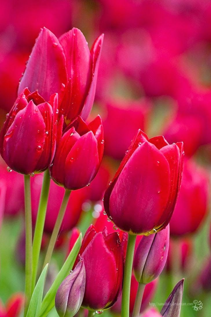 Top 5 Most Beautiful Flowers In The World : Tulips                                                                                                                                                      More