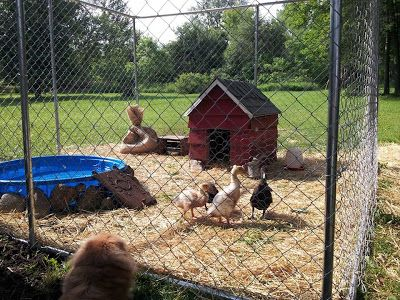 d437af1b82d4bc582d9606463c282696--pet-ducks-baby-ducks Ideas For Backyard Fencing on remodeling ideas for backyards, fencing ideas's, lighting ideas for backyards, flooring ideas for backyards, pond ideas for backyards, storage ideas for backyards, paving ideas for backyards, small garden ideas for backyards, design ideas for backyards, pool ideas for backyards,