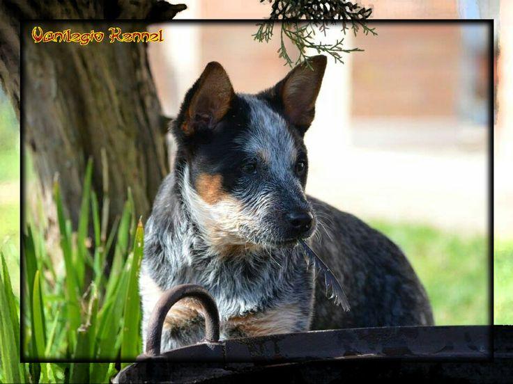 Australian Cattle Dog (ACD) / Vanilegio Charisma 4 mesi / Allevamento Australian Cattle Dog Vanilegio www.vanilegio.it